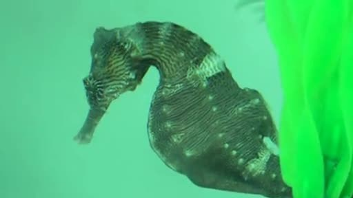 Rescued Male Seahorse Gives Birth to Hundreds of Babies at Clearwater Marine Aquarium