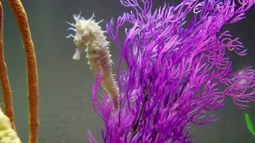 Funyun the seahorse b-roll – Please credit Clearwater Marine Aquarium