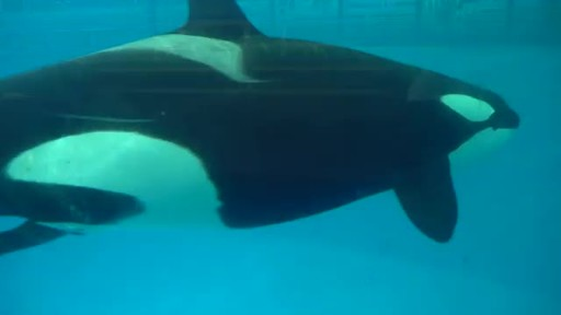 SeaWorld Shares Video of Last Orca Calf