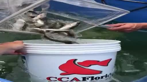 Over 1,000 juvenile snook are moved for release into Charlotte County waters.