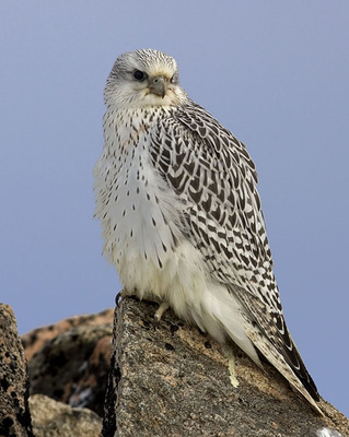 Perched Gyr - Photo by Cal Sandfort The Peregrine Fund.  (PRNewsFoto/Prince Albert II of Monaco Foundation - USA)