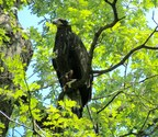 "FREEDOM TAKES FIRST FLIGHT - Sunday afternoon, June 5th, at around 2:30pm EST, ""Freedom,"" one of the two young eagles residing in the nest of ""Mr. President"" and ""The First Lady"" at the U.S. National Arboretum, fledged the nest! Visit dceaglecam.org to watch eagle ""Liberty"" fledge the nest as well. Photo: Copyright 2016 Sue Greeley for American Eagle Foundation"