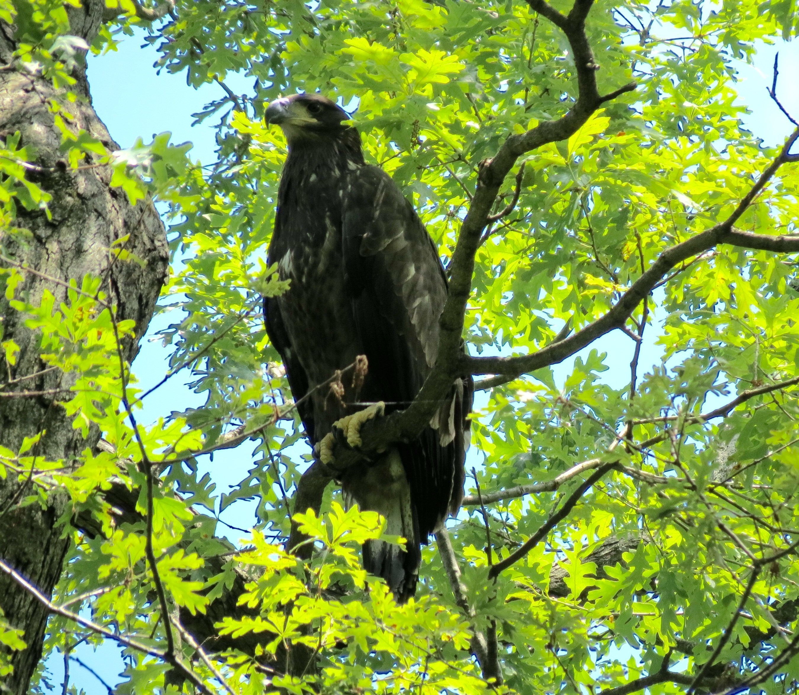 """FREEDOM TAKES FIRST FLIGHT - Sunday afternoon, June 5th, at around 2:30pm EST, """"Freedom,"""" one of the two young eagles residing in the nest of """"Mr. President"""" and """"The First Lady"""" at the U.S. National Arboretum, fledged the nest! Visit dceaglecam.org to watch eagle """"Liberty"""" fledge the nest as well. Photo: Copyright 2016 Sue Greeley for American Eagle Foundation"""