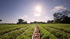 A PureCircle stevia farm in Paraguay.
