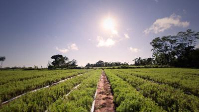 A PureCircle stevia farm in Paraguay. (PRNewsFoto/PureCircle)