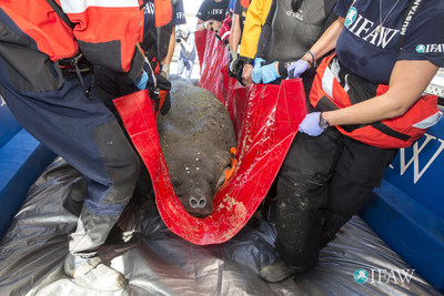 Wayward manatee rescued on Cape Cod is pregnant
