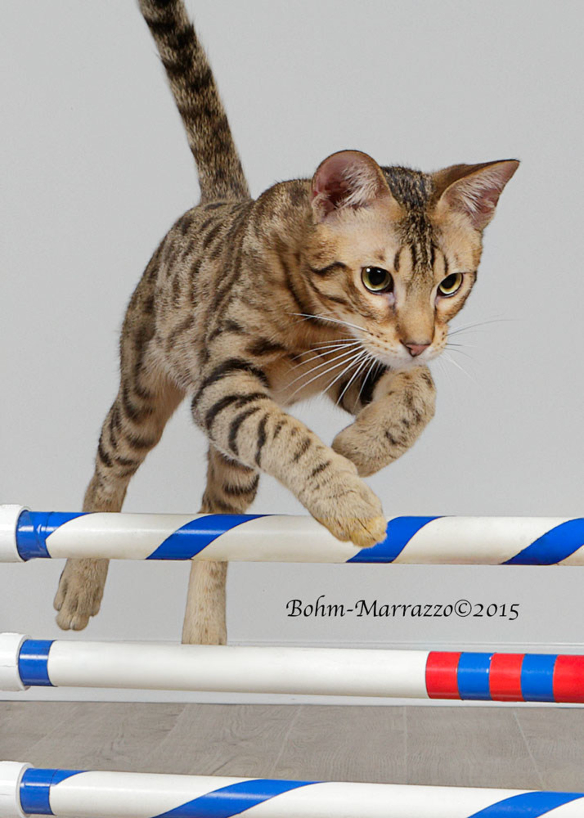 Pixel competing in the feline agility (jumping) competition. Photo Credit: Bohm Marrazzo Photography