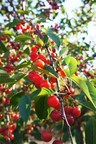 July marks tart cherry harvest season for this predominantly U.S. grown superfruit, and growers and processors are preparing for a fruitful crop for this red hot fruit. (PRNewsFoto/Cherry Marketing Institute)