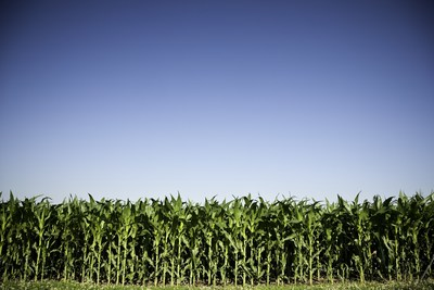 Maturing corn grows in a field.