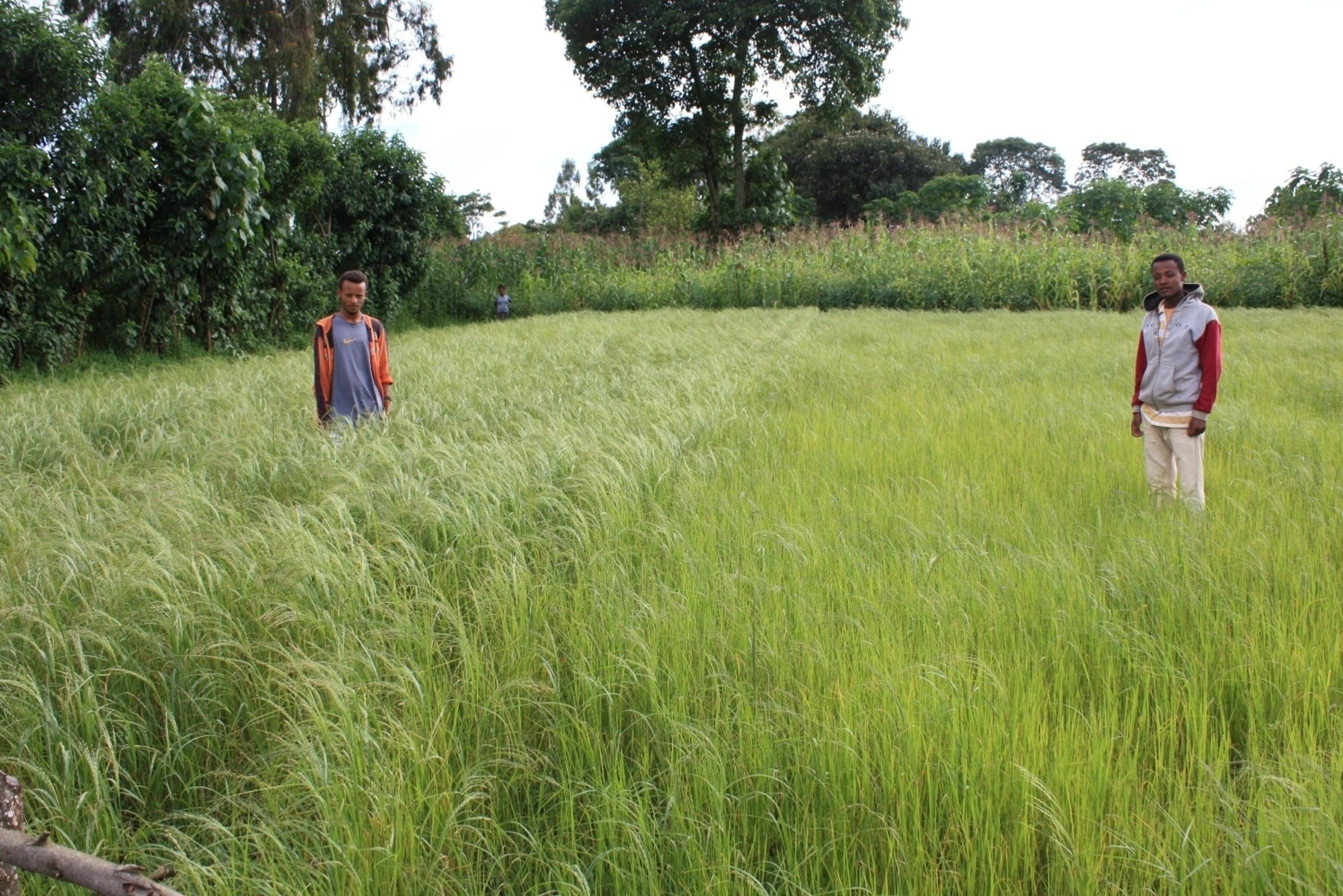 Potash demonstration plot in teff crop at Lekemt, Oromia region, Ethiopia. Left side: with potash application; right side: without potash application. Photo taken by Eldad Sokolowski, Agronomist, ICL Fertilizers (PRNewsFoto/ICL)
