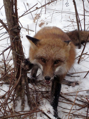 A red fox is tangled up in a cable snare. The trapper admitted that this type of snare is illegal but that he uses it anway.