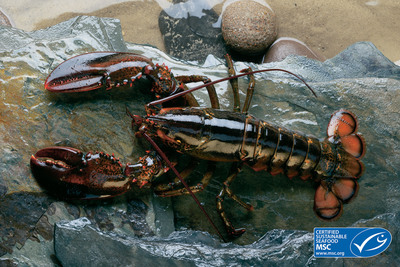 Clearwater Seafoods Boasts 1st Canadian Lobster fishery to achieve MSC certification. Eastern Canadian Offshore Lobster are the newest addition to Clearwater Seafoods' family of Marine Stewardship Council certified offerings, joining Canadian Sea scallops, Argentine Scallops and Canadian Coldwater Shrimp. Lobster has become synonymous with Clearwater in many of its markets around the globe. (PRNewsFoto/Clearwater Seafoods Income Fund)