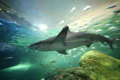 "Ripley's Aquarium of Canada's thrilling ""Dangerous Lagoon"" is a 2.9 million litre underwater adventure filled with sharks, green sea turtles, sawfish, and more, and features a 315 ft-long (97 metre) underwater tunnel with a moving sidewalk.  (PRNewsFoto/Ripley's Aquarium of Canada LP)"