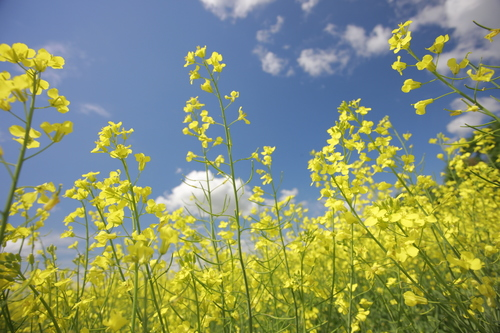 The oil extracted from canola plants is one of the healthiest in the world. Of all common cooking oils, canola has the most plant-based omega-3 fat (11 percent) and the least saturated fat (7 percent) - half that of olive oil (15 percent). (PRNewsFoto/CanolaInfo)