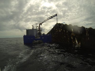 Seaweed Harvest at cultivation site in Norway