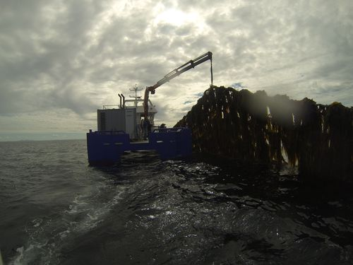 Seaweed Harvest at cultivation site in Norway (PRNewsFoto/Seaweed Energy Solutions AS)