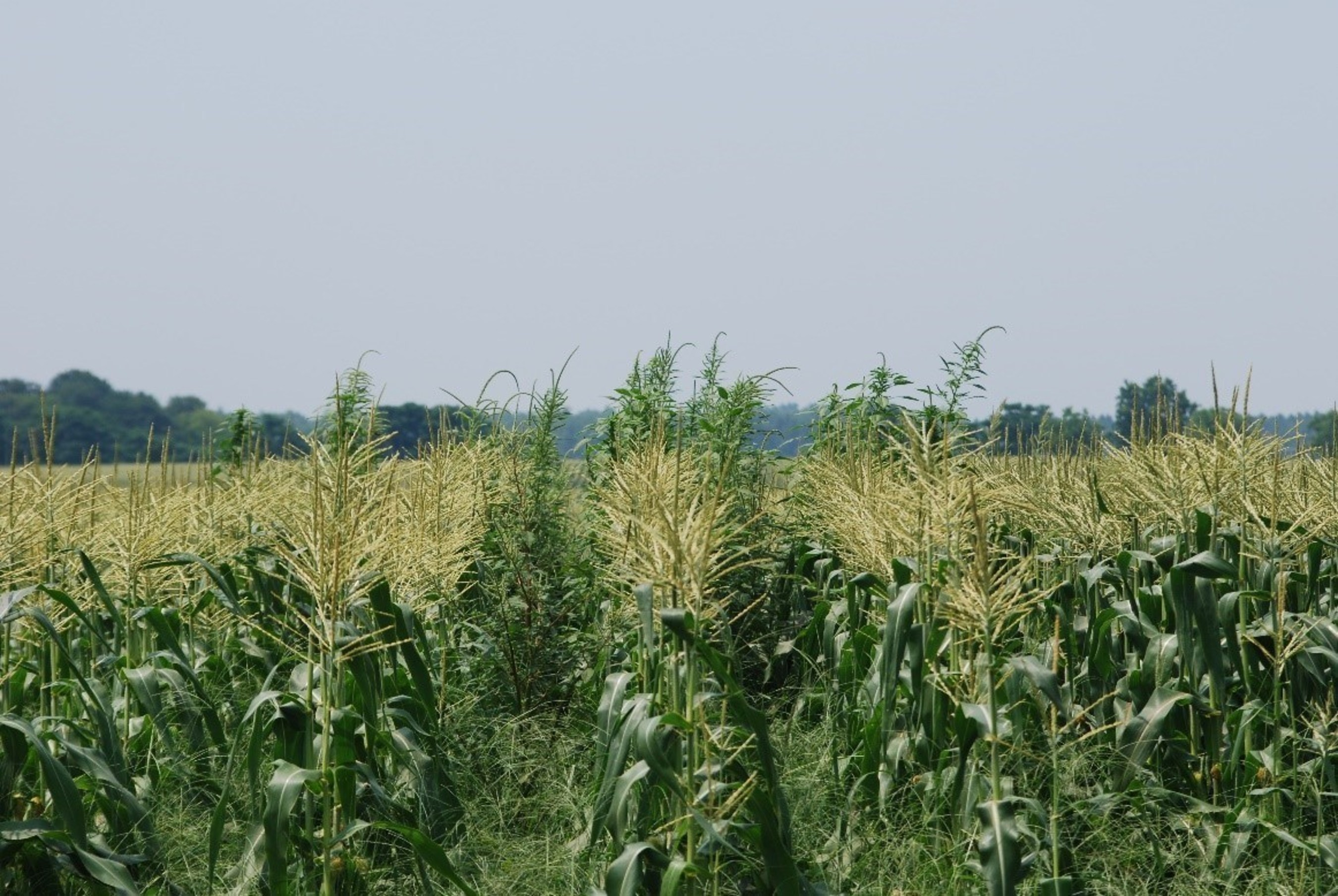 Corn growers regularly fight invasive weed species like this Palmer amaranth.