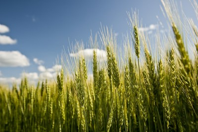 Wheat crop grows to maturity in a field.