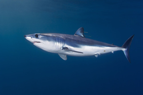 Pew Applauds Senate Action to Protect Sharks