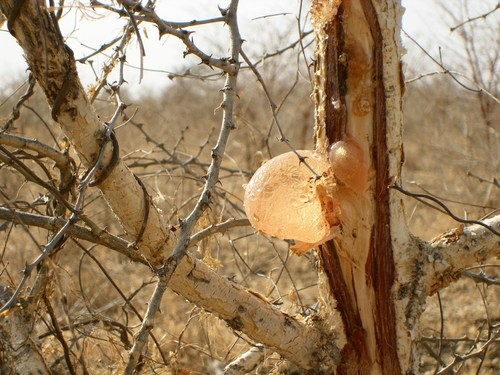 Acacia Gum is harvested on wild acacia trees that grow mainly in Africa (PRNewsFoto/Alland et Robert)