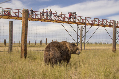 2,000 pound Kodiak Bear being observed by visitors on record-breaking walkway at The Wild Animal Sanctuary