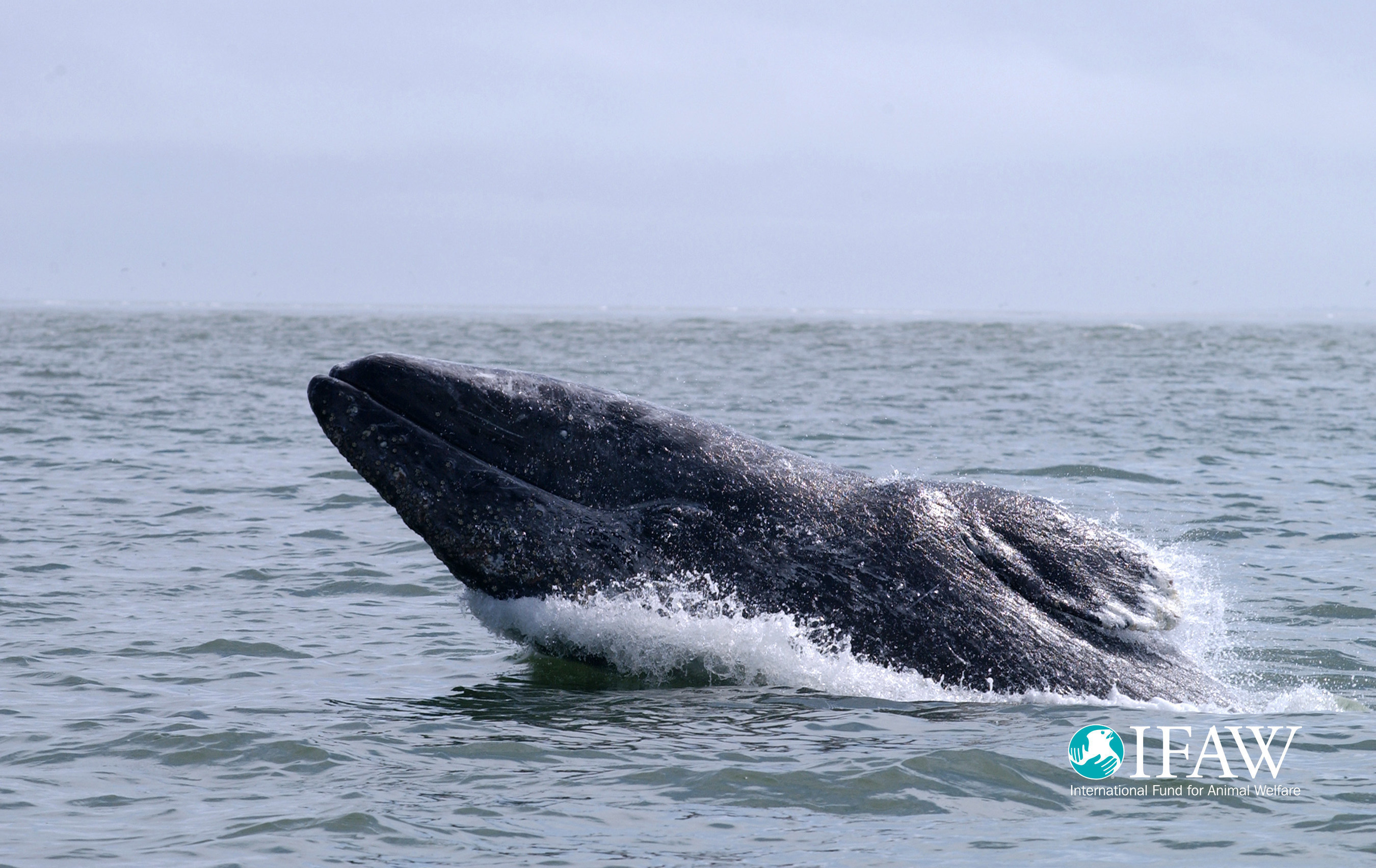 Calls for suspension of industrial activity which threatens critically endangered whales in their main feeding ground