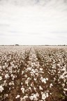 Southeast Cotton Breeding Gets $4.4 million Boost from Bayer