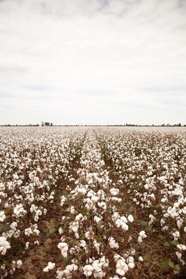 Cotton grows to maturity in a field. Growers across the Southeast region will reap the benefit of a $4.4 million, 150-acre cotton breeding facility built by Bayer in Dawson, Georgia.