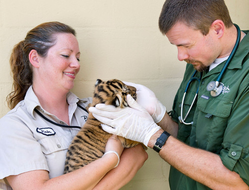One of three endangered Malayan tiger cubs, born at Busch Gardens(R) Tampa on Sunday, March 31 receives a checkup at the park. The births are critical to help preserve the species as scientists estimate that only 500 remain in the wild. In approximately one month, the Busch Gardens(R) animal care team will start introducing the cubs, two males and one female, to the Jungala habitat (www.jungala.com). The births are part of park's partnership in the Association of Zoos and Aquariums (AZA) Species Survival Plan(R) (SSP).  (PRNewsFoto/Busch ...