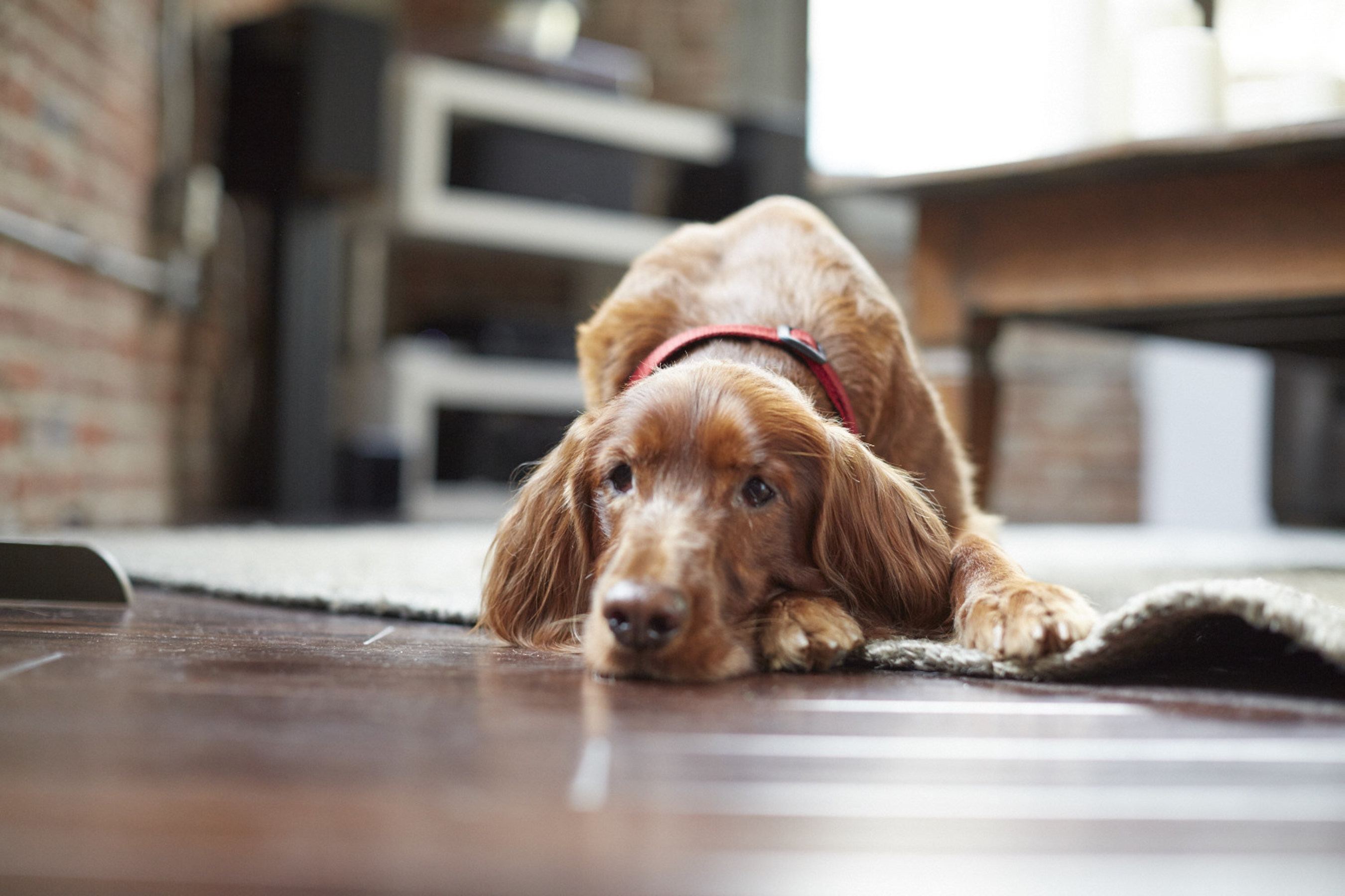 """Layla, above, waits for her adopted pet parent to come home in the Coldwell Banker """"Home's Best Friend"""" television commercial. Coldwell Banker has joined with Adopt-a-Pet.com to find homes for 20,000 dogs like Layla in 2015."""