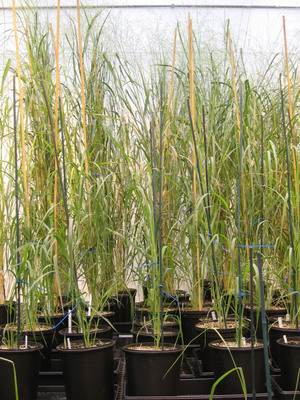 Metabolix switchgrass making PHB biopolymer in our greenhouse. A recently granted patent describes this process.  (PRNewsFoto/Metabolix, Inc.)