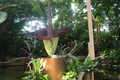 """Morticia"" the Corpse Flower is expected to bloom at Moody Gardens in Galveston, TX within the next week. She will be approximately 10 ft. tall with a powerful stench as shown in this picture from her first bloom in 2012"