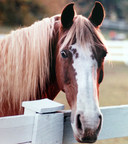 AVMA and AAEP oppose efforts to stall proposed rule to enforce the Horse Protection Act. They say unnecessary delays in long overdue changes will result in more injury to horses.