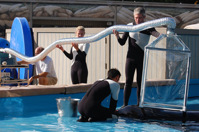 New research conducted at SeaWorld aims to help scientists answer a long-standing question: What is the resting metabolic rate of a killer whale? The answer to this seemingly basic question may upset conventionally held beliefs about the impact of killer whales, an apex predator, on their environment, and help biologists make more informed management decisions for endangered killer whales in the wild. Scientists from Hubbs-SeaWorld Research Institute and SeaWorld worked with Tilikum, a killer whale at SeaWorld Orlando and the largest marine mammal living in a zoological park. The results of the study were published in Marine Mammal Science. (PRNewsFoto/SeaWorld Parks & Entertainment, Hubbs-SeaWorld Research Institute)