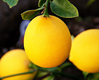A Meyer Lemon Tree Gift Set makes it possible for anyone to grow full-size lemons, indoors or outdoors. (PRNewsFoto/HomeGardenandHomestead.com)