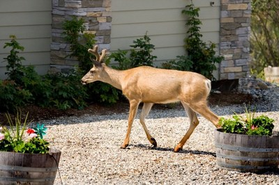 Protect your yard and gardens with Bobbex, a proven effective deer repellent
