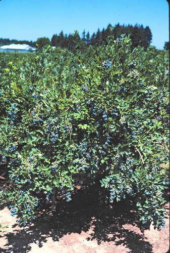 Growing berries emerges as the most popular trend in edibles, likely due to the reported health benefits of foods like antioxidant-rich blueberries. Blueberries are the most popular fruit edible at Lowe's, with the varieties of O'Neal, Misty, Earliblue and Sunshine Blue generating the most interest from consumers. (PRNewsFoto/Lowe's Companies, Inc.)