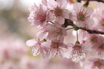 Cherry Blossoms Reveal Their Beauty from Washington, D.C. to Japan; The Ritz-Carlton Viewing Tips and Experiences Help you Celebrate Sakura