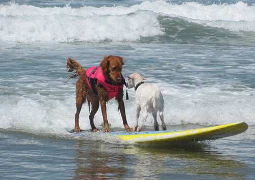 Celebrity SurFUR and top fundraising dog Ricochet rides tandem with a surfing goat at Helen Woodward Animal Center's Surf Dog Surf-A-Thon, sponsored by Blue Buffalo.  (PRNewsFoto/Helen Woodward Animal Center)