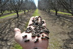 Derek Artz holding blue mason bees for pollination of an almond orchard