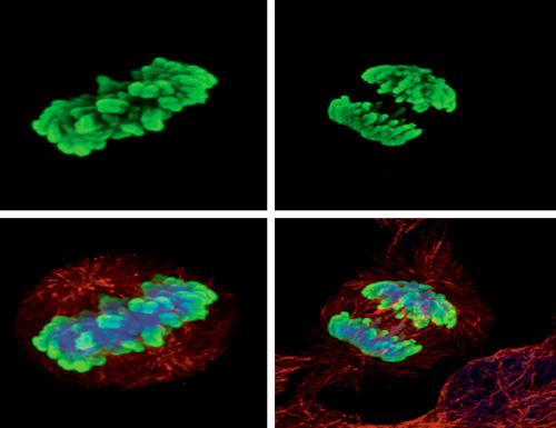 Histone H3 (phospho Ser10) GTX128116.  (PRNewsFoto/GeneTex)