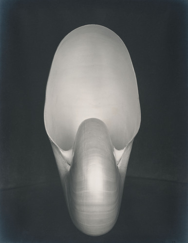 Photo Credit: Edward Weston, Shell, 1927, gelatin silver print, (C)1981 Center for Creative Photography, ...