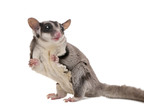 """The cutest scariest animal on the planet is the sugar glider,"" according to EcoHealth Alliance President Dr. Peter Daszak at TEDMED. October 27, 2010, San Diego, Calif., EcoHealth Alliance.  (PRNewsFoto/EcoHealth Alliance)"