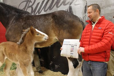 "Jeff Knapper, general manager of Budweiser Clydesdale operations, shows the baby foal the USA Today headline announcing that ""Brotherhood"" won the Super Bowl XLVII Ad Meter competition. Fans submitted more than 60,000 ideas via social media for naming the now-21-day-old Clydesdale, who Budweiser announced will be called ""Hope.""  (PRNewsFoto/Anheuser-Busch)"
