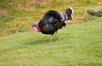 The Heritage Black Turkey, one of America's oldest breeds and available at Joyce-Farms.com, is the perfect choice for Thanksgiving dinners where tradition and natural food matter.  (PRNewsFoto/Joyce Farms, Inc.)