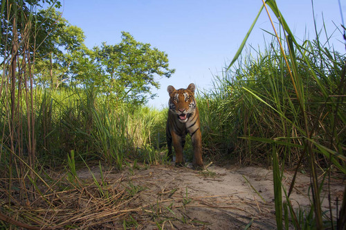 A young male tiger emerges from the grass in Kaziranga National Park in Assam, India. The park has the highest density of tigers in India.  (PRNewsFoto/Newseum, Steve Winter)