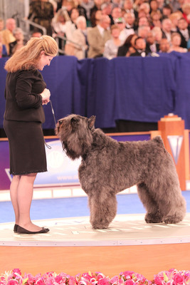 © AKC/Robert Young: A Bouvier des Flandres in the Herding Group at the AKC/Eukanuba National Championship