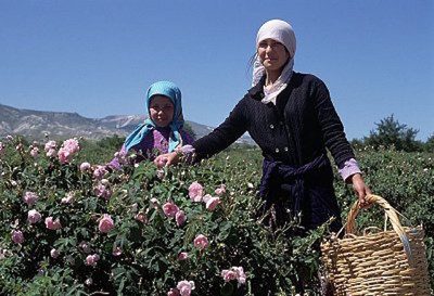 Rose Harvesting in Isparta