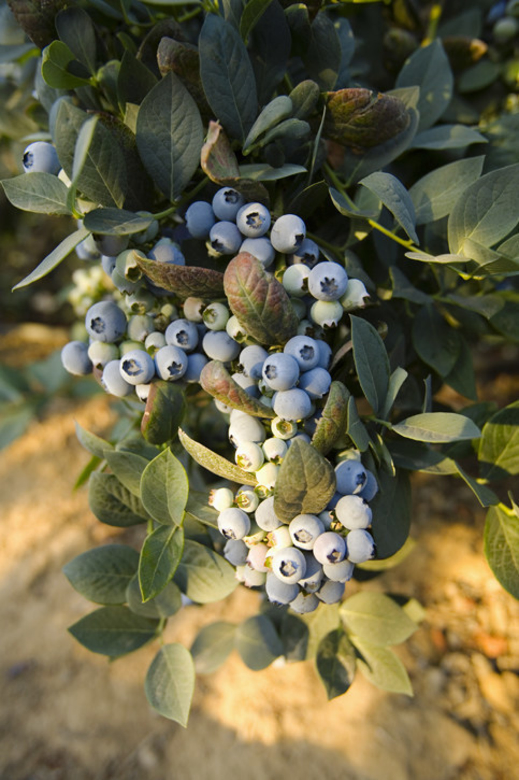 Naturipe® Farms challenges developers to invent the next generation automated blueberry harvesting