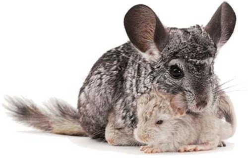 Chinchillas The Perfect Family Pet To Have Waiting Under The Tree This Holiday Season
